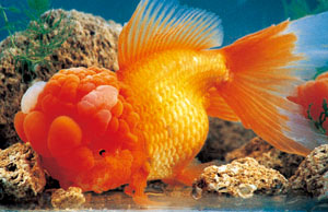 Imperial Goldfish